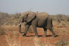 Африканский слон идя в одичалый африканца Буша Стоковые Изображения RF