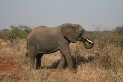 Африканский слон идя в одичалый африканца Буша Стоковые Изображения