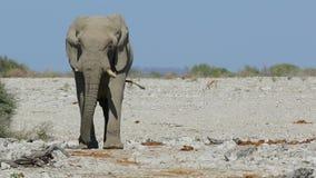 Африканский слон идя - Etosh видеоматериал