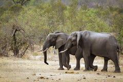 Африканский слон куста в национальном парке Kruger Стоковая Фотография