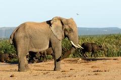 Африканский слон куста Стоковая Фотография