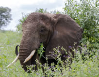 Африканский слон куста & x28; Africana& x29 Loxodonta; Стоковые Изображения RF