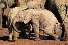 африканский слон младенца Стоковые Изображения