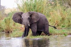 Африканский слон наблюдая близко Стоковое фото RF