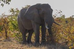Африканский слон - национальный парк Kruger Стоковые Фотографии RF