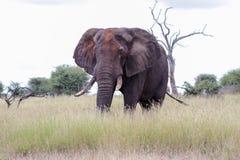 Африканский слон предусматриванный с высушенной грязью Стоковое Изображение RF
