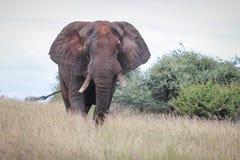 Африканский слон предусматриванный с высушенной грязью Стоковые Фотографии RF