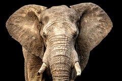 Африканский слон смотря на камеру с ушами вне и черной предпосылкой Стоковое Изображение