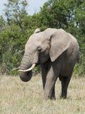Африканский слон с завитым хоботом Стоковая Фотография