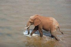 Африканский слон. Стоковая Фотография