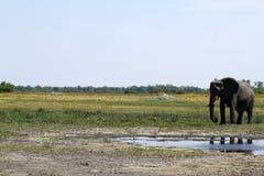 африканский слон Стоковые Изображения RF