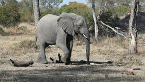 африканский слон видеоматериал