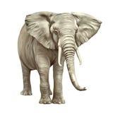 Африканский слон, africana Loxodonta, на белизне Стоковое Изображение RF