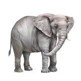 Африканский слон, africana Loxodonta Стоковое Изображение