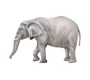 Африканский слон, africana Loxodonta Стоковые Изображения