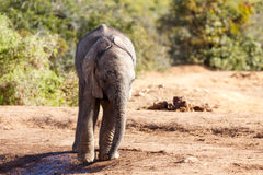 африканский слон bush Стоковое Изображение RF