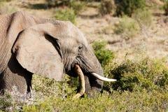 африканский слон bush Стоковое Изображение