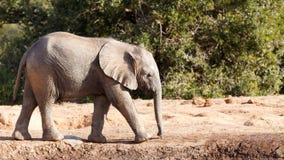 африканский слон bush Стоковые Изображения