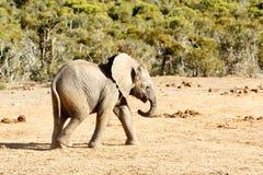 африканский слон bush Стоковые Изображения RF
