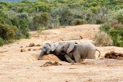 африканский слон bush Стоковые Фото