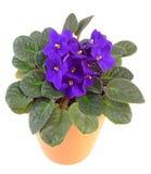 африканский фиолет flowerpot стоковые изображения