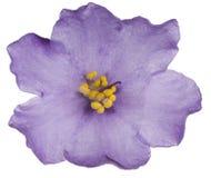 Африканский фиолет Стоковые Изображения