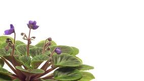 Африканский фиолет (sp узамбарской фиалки ) промежуток времени цветка акции видеоматериалы
