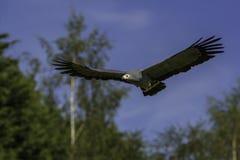 Африканский хоук harrier в полете Стоковая Фотография
