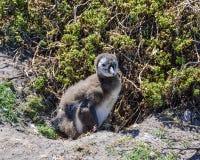 Африканский цыпленок пингвина Стоковые Фотографии RF