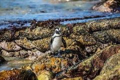 Африканский черно-белый пингвин Стоковое Изображение RF