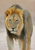 африканский черный львев maned Стоковое Фото