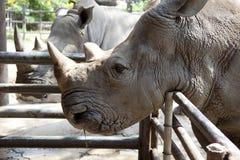 Африканский черный носорог Стоковые Изображения RF