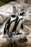 Африканский черный footed пингвин. Стоковое фото RF