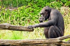африканский шимпанзе западный Стоковая Фотография RF