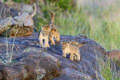 африканский львев новичка стоковые фото