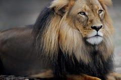 африканский львев стоковые изображения