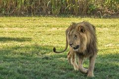 африканский львев Стоковое фото RF