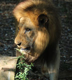 африканский львев Стоковая Фотография