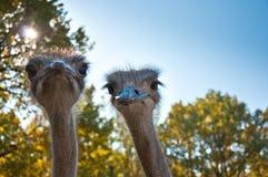 Африканский camelus Struthio Ostrichs Стоковое Изображение