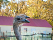 Африканский camelus Struthio Ostrichs Стоковое Изображение RF