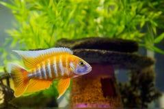 африканский cichlid аквариума Стоковая Фотография