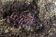 Африканский Crawler ночи на почвах Стоковые Изображения RF