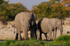 Африканский elefant табун на waterhole, nationalpark etosha, Намибия Стоковое фото RF