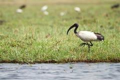 африканский ibis священнейший стоковые изображения rf