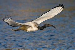 африканский ibis священнейший Стоковое Изображение RF