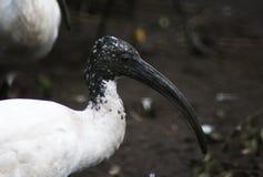 африканский ibis священнейший стоковая фотография rf