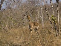 африканский impala щетки южный Стоковая Фотография