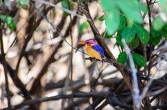 Африканский Kingfisher пигмея на ветви Стоковое Изображение RF