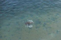 африканский lionfish Стоковое Фото