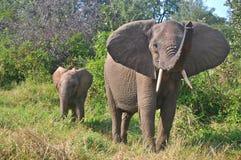 африканский loxodonta слона bush africana Стоковое фото RF